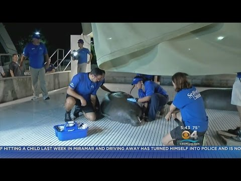 Manatee Rescued From Jacksonville Storm Drain