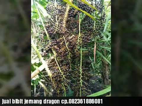 Jual bibit jernang dragon unggul.aceh bireun cp jhamal 082361886081
