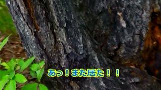 この木だけで、コクワガタオス一匹メス一匹ノコギリクワガタオス一匹カ...
