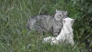 Коты разговаривают и деруться