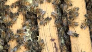 итальянка -это супер пчела!