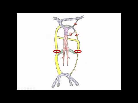 Medical Embryology - Development of Cardinal Veins and the Large Veins