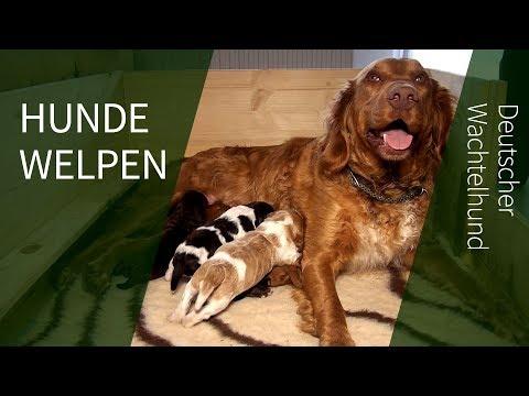 Hundewelpen ► Ria`s Nachwuchs Deutscher Wachtel Hundewelpen