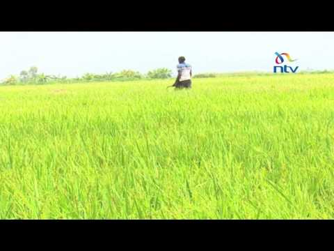 Rice shortage: Drought leads to fears of shortage of crucial staple