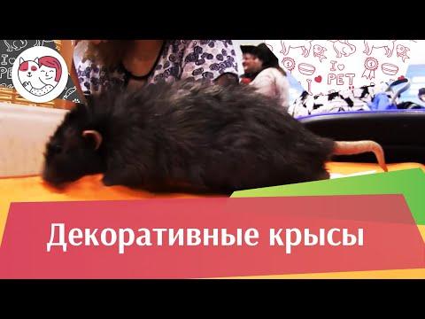 Декоративные крысы Как правильно выбрать на ilikepet