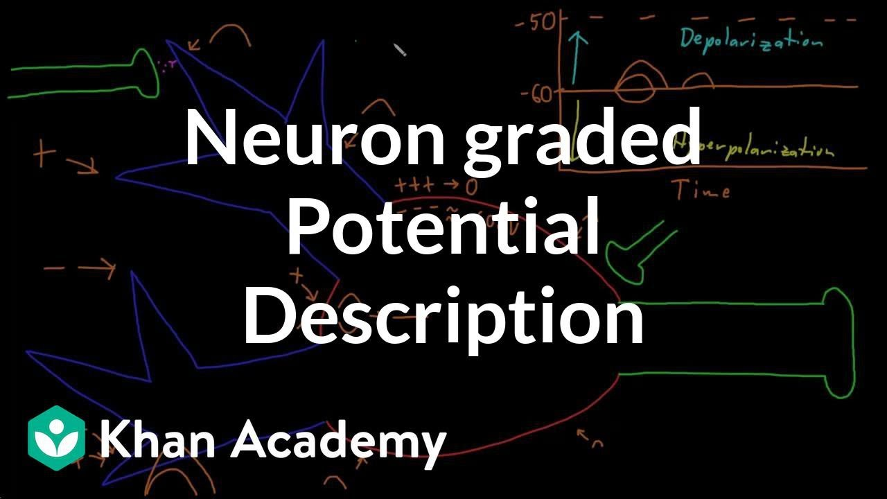 Neuron Graded Potential Description Video Khan Academy Actions potentials are the nerve impulses that occur when the membrane voltage reaches. neuron graded potential description