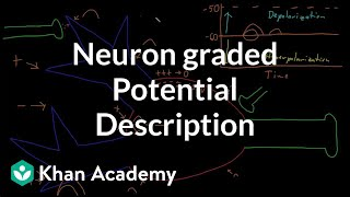 Neuron graded potential description