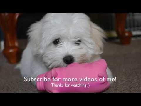 A week in the life of a Coton De Tulear puppy