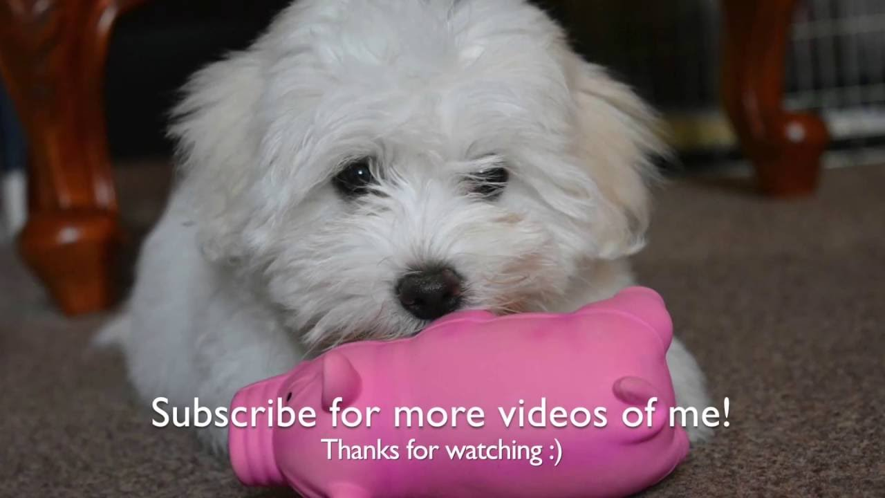 A Week In The Life Of A Coton De Tulear Puppy Youtube