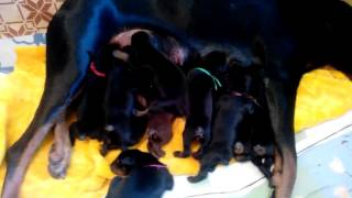 щенки добермана