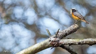 Common redstart (gekraagde roodstaart) [Full HD]