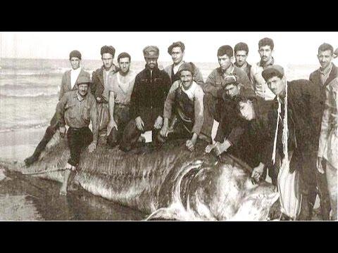Белуга Осётр - самая большая в Мире 1,5 тонны весом - YouTube