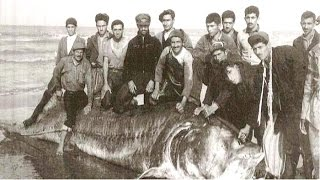 Белуга Осётр - самая большая в Мире  1,5 тонны весом