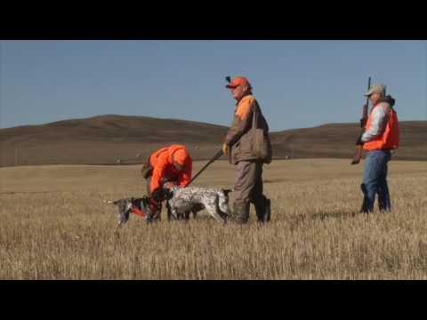 Montana Bird Hunt 2016 with Bird Dogs Afield TV