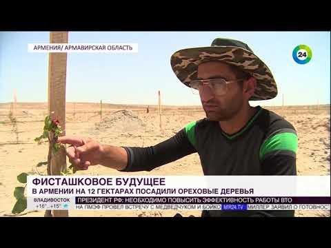 Фисташковое будущее: ореховые саженцы приживаются в Армении