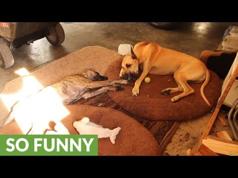Frustrated puppy wants big brother's bone