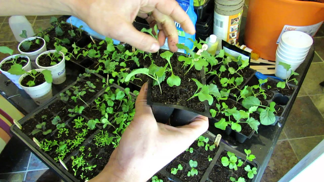 Seed Starting Kohlrabi Kale Broccoli Brussels Sprouts Cabbages Planting Feeding Transplanting