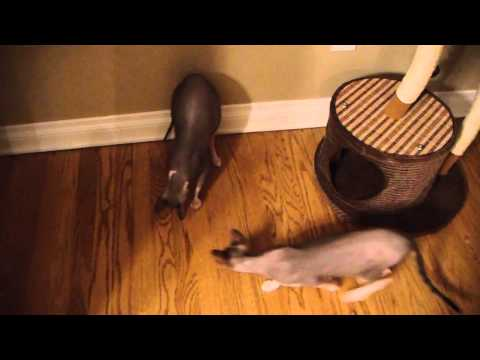 2 Sphynx Cats Torment & Chase Giant Ant