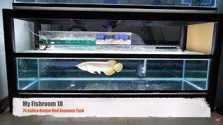 Video [My Fish Room 18] 75 Gallon Banjar Red Arowana Tank download MP3, 3GP, MP4, WEBM, AVI, FLV September 2018