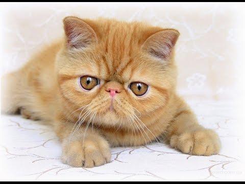 Ориентальные кошки, ориентальные котята - питомник Catori