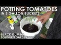 How to Pot Tomatoes in 5 Gallon Buckets || Black Gumbo
