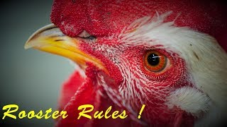 Rooster Rules! Fearless Rooster Compilation July 2018