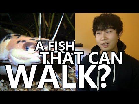 WALKING CATFISH And How I Found Them