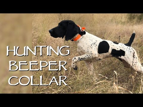 Hunting In The Field With A Beeper Collar - Upland Bird Dog Training