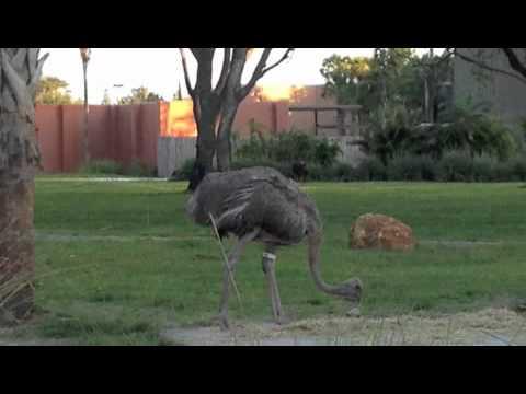 Ostrich Noises