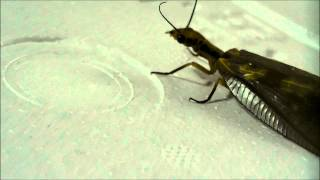 ヘビトンボをそこそこ観察(一応高画質) The Dobsonfly