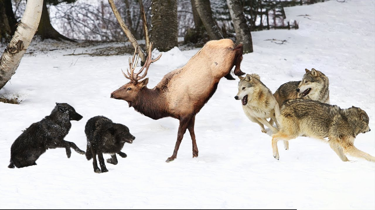 Wolf Vs Elk Elk Attempts To Escape Pack Of Wolves But Fail Youtube