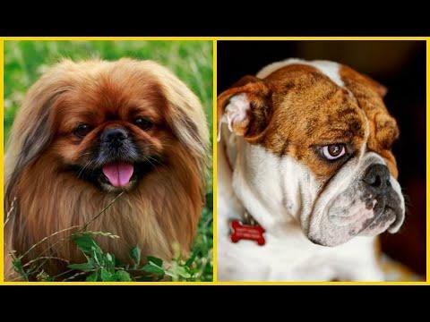 Top 10 Razas De Perros Que Menos Obedecen A Su Dueño
