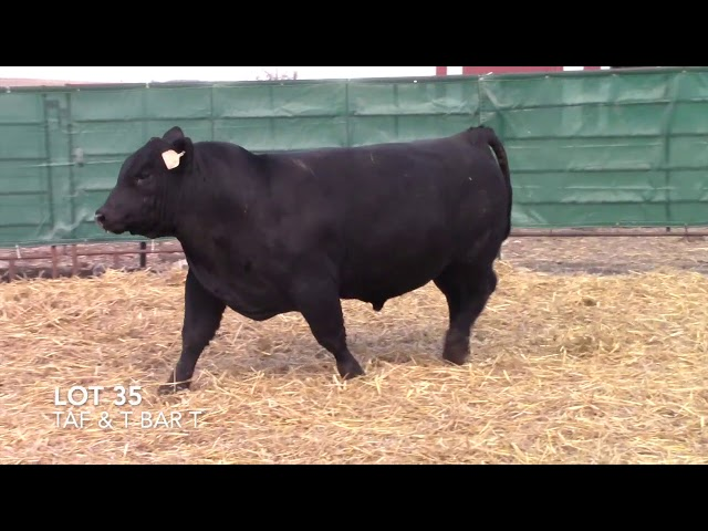 T Bar T and Taliaferro Angus Lot 35