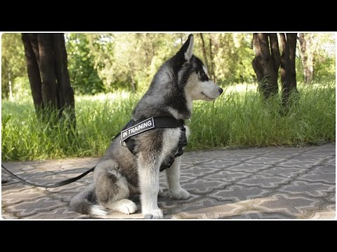 Take a walk with awesome Siberian Huskies. Dogs walking in Multipurpose Nylon Dog Harness