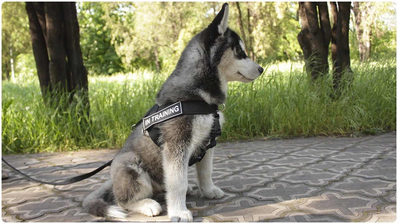 Take A Walk With Awesome Siberian Huskies Dogs Walking In