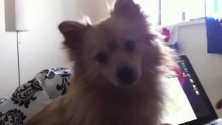 Poco - My Baby Pomeranian + Chihuahua Mix