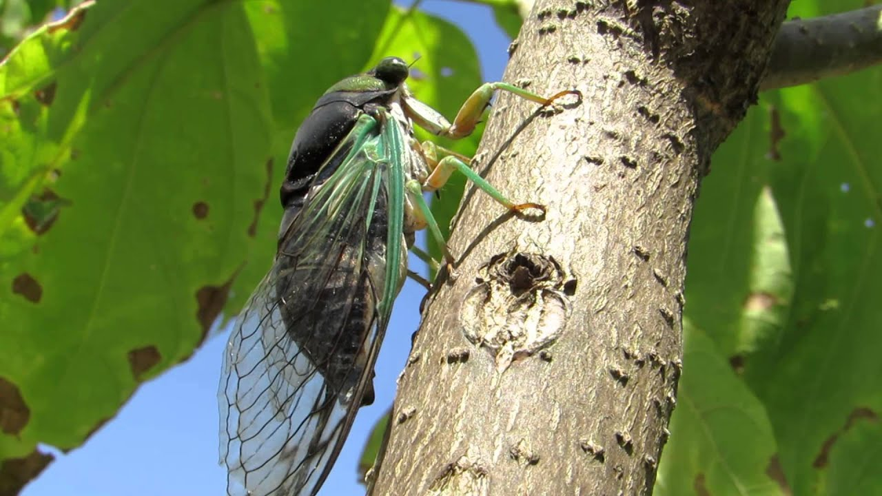 7 Things You Didn't Know About Cicadas | UANews