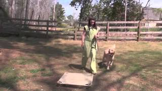 Best Dog Training, Moose, Golden Retriever, Day 1  Recall, Follow, And Free 2015