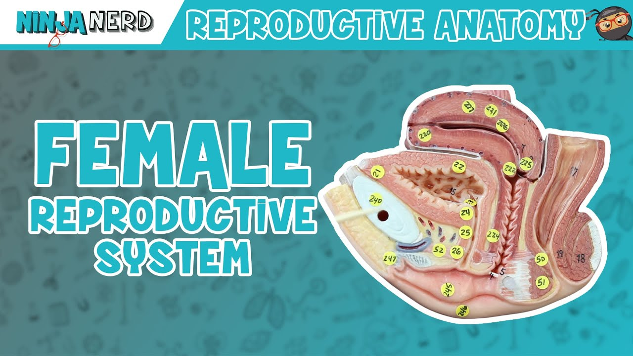 Anatomy Of Female Reproductive System Youtube