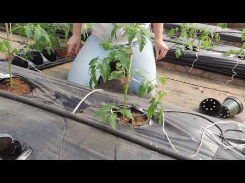 Transplanting Tomatoes and Cucumbers into our Raised Beds  Stringing and drip irrigation!