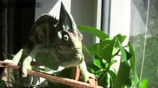 Хамелеон быстро меняет цвет и размеры