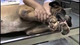 Cães pernas lesões nas de