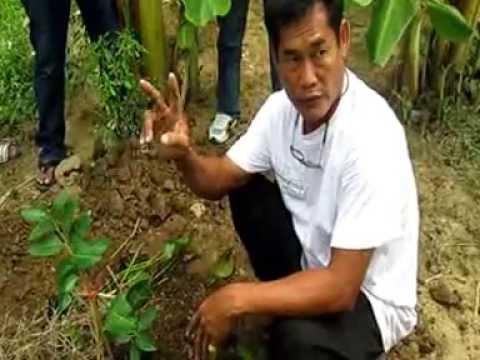 ปลูกมะนาวลงดินแบบไม่ใช้ดินสูตรสวนมะนาววโรชา