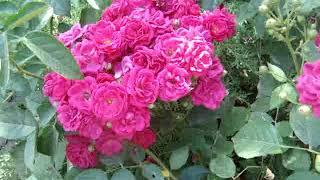 Розы в саду и на даче: видео