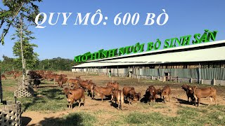 Review mô hình nuôi bò sinh sản quy mô 600 con tại Thái Nguyên |HLT CHANNEL|