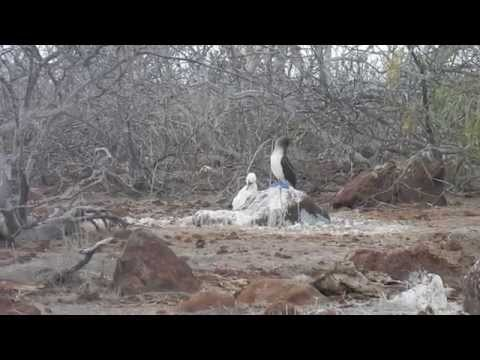 Blue Footed Boobies Preening