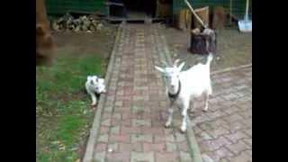 Нокаут собаке от козла!!