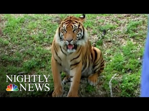 Outrage After Miami School Brings Caged Tiger To Prom | NBC Nightly News