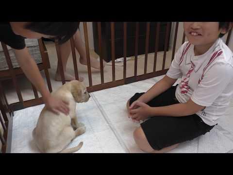 【初めて飼う犬が ラブラドールの場合】我が家に ラブラドールレトリーバーの子犬がやってきた / 生後49日 Labrador retriever チャピーの成長日記 #01
