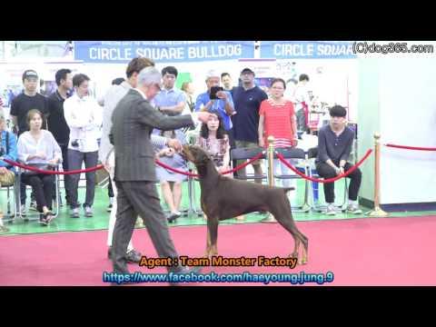 2016.06.18 KKF DOG SHOW - Doberman pinscher